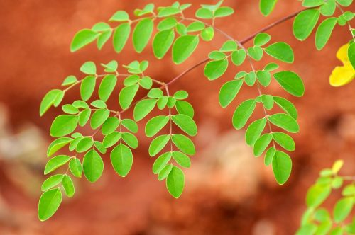dealing-with-issues-that-make-you-want-to-see-a-therapist-get-to-know-the-uses-and-benefits-of-moringa-oleifera-instead-1